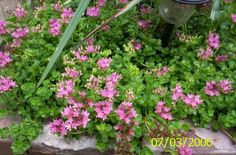 Sedums 10 Organically Grown Divisions  Variety Mix by brambleoak, $10.00