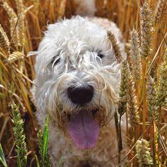 Wheaten in the Wheat - #softcoatedwheatenterrier #wheatenterrier #dog #wheat…
