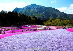 Shibazakura (Moss Pink) at Hitsujiyama Park,Chichibu, Japan