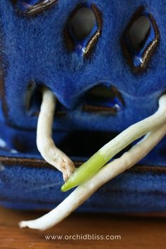 the Wrong Orchid Pot Can be Fatal to Your Orchid Cattleya orchid roots are doing fine under grow lights. orchid roots are doing fine under grow lights.