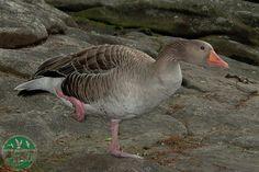 Ganso común en el parque zoológico ornitológico de Avifauna Lugo