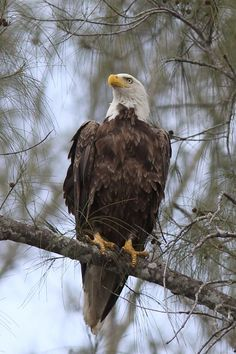 Bald Eagle (Naples, Florida) RP by Splashtablet iPad Cases - the kitchen & shower iPad case that sticks everywhere. Winter Sale prices on Amazon Now!
