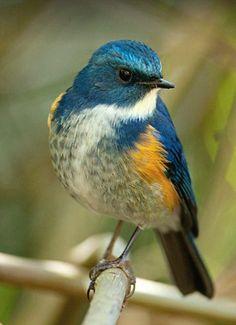 Himalayan Bluetail (Tarsiger rufilatus) Michael Gillam.