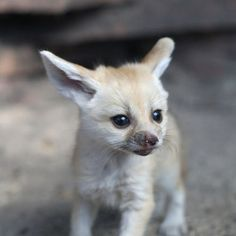 i understand your hesitation, baby fennec fox, i do, but i'm putting you in my mouth.