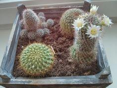 Blühender #Kaktus. Bloß nicht gießen ;-)