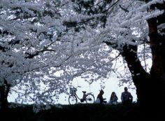 Hanami, la grande bellezza effimera - un giardino in diretta Shinjuku Gyoen, Monte Fuji, Japanese Lifestyle, Sakura Cherry Blossom, Cherry Blossoms, Go To Japan, White Gardens, Cherry Tree, Japanese Art