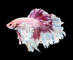 betta: Betta fish, siamese fighting fish, betta splendens (Dumbo halfmoon betta )isolated on black background Stock Photo