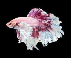 betta: Betta fish, siamese fighting fish, betta splendens (Dumbo halfmoon betta )isolated on black background Stock Photo