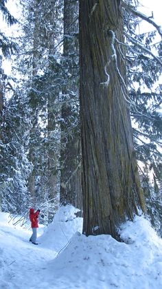 Snowshoeing the Ancient Forest in Northern BC Used to live up north in Fort St. James for awhile. TOO COLD, but beautiful. West Coast Canada, Beautiful Sites, You're Beautiful, Mountain Bike Tour, Canadian Winter, Old Trees, Exotic Places, Canada Travel, Winter Scenes