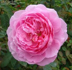 Full size picture of English Rose, Austin Rose 'The Mayflower' (Rosa) ACCORDING TO DAVE'S -- ZONE 3A- LITTLE OTHER INFO... NOT A CLIMBER, 3-4FEET