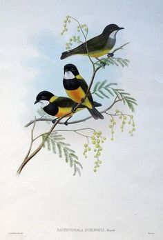PACHYCEPHALA SCHLEGELI SCHLEGEL S THICK-HEAD An original hand coloured lithograph of Schlegel s Thick-head by William Hart after John Gould published