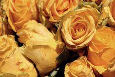 Jurats de Girona (detalle de una rosa) · Girona, Temps de Flors 2015