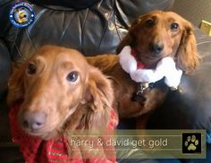 **** THE GOLD PAW IS UP **** It was very happy news for Harry & David this weekend as they found their forever home!! We are so excited for them. How about a round of likes, shares and shout-outs for this great pair as they begin their new life! Go Harry & David :)