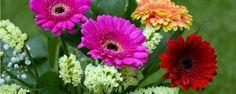 Saiba como cultivar gérberas - Da mesma família que os girassóis e as margaridas, as lindas gérberas pertencem a uma espécie que encanta pela sua beleza e também pela sua grande variedade de tonalidades. São cerca de 20 tipos de cores que vão do branco ao vermelho.  A gérbera é uma planta herbácea que pode ser facilmente cul... - http://www.ecologicalfertilizer.com/ecoblog/2015/10/20/saiba-como-cultivar-gerberas/