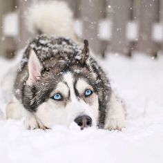 Wonderful All About The Siberian Husky Ideas. Prodigious All About The Siberian Husky Ideas. Siberian Husky Colors, Siberian Husky Facts, Siberian Husky Puppies, Pictures Of Siberian Huskies, Cute Husky Puppies, Husky Puppy, Dogs And Puppies, Doggies, Funny Husky