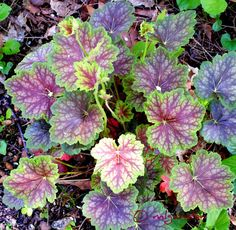 Heuchera americana 'Marvelous Mable' A perennial alternative to coleus Garden Yard Ideas, Garden Projects, Shade Garden, Garden Plants, Coral Bells Heuchera, Bell Gardens, Fairy Gardens, Small Pink Flowers, White Flowers