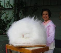 Angora rabbit....It's so amazing and fluffy that I just died...