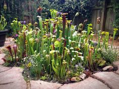 In June of 2013 I found myself to have a lot of extra free time, pots and pots of Sarracenia, and a little more cash flow so the only logical thing to do was to build an in ground bog.  I