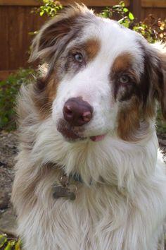 Australian Shepard Pure-Bred :) my puppy Chowder