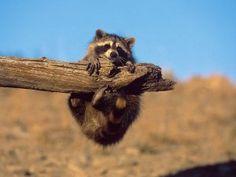Pequeño mapache agarrado a un tronco