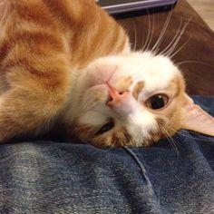 Cocooning #ginger #cat