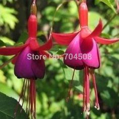 FD1509 Rare! Snow Fuchsia Seeds Fuchsia Lovely Lantern Flower Seeds ~10 Seeds~ #Affiliate
