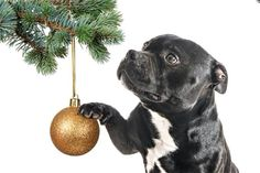Christmas Staffy ♥ Source by Staff Bull Terrier, Pitbull Terrier, Staffy Pups, Best Puppies, Funny Puppies, Animals And Pets, Cute Animals, Most Beautiful Dogs, Bulldog Breeds