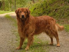 Red golden retriever puppies for sale in texas