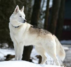 black wolf hybrids for sale | monti is a wolf husky hybrid he has more wolf
