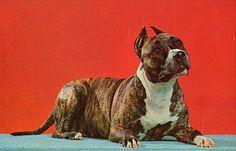 1950s technicolor Pit Bull postcard