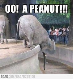 Lolcats - Funny Pictures of Cats - I Can Has Cheezburger? the home of lol cats and lol* (other animals). All of our lolcats and lol*whatevers are made by u. Make your own lolcats! Funny Elephant, Elephant Love, Elephant Quotes, Funny Animal Pictures, Funny Animals, Cute Animals, Funniest Pictures, Funniest Quotes, Elephant Pictures
