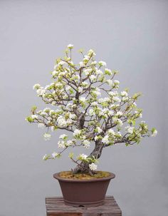 #Bonsai flower plants