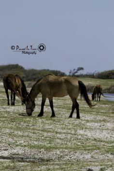 Horses at Cedar Island, NC Atlantic Beach, North Carolina, Places Ive Been, Horses, Island, Usa, Movie Posters, Film Poster, Popcorn Posters