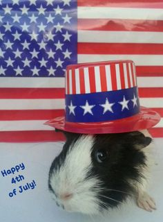 Guinea Pig 4th of July!