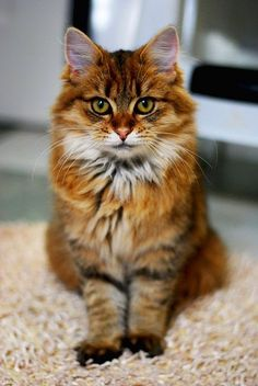 Five Interesting Facts About Maine Coon Cats http://www.mainecoonguide.com/where-to-find-maine-coon-kittens-for-sale/