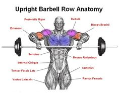 Upright Barbell Row Anatomy