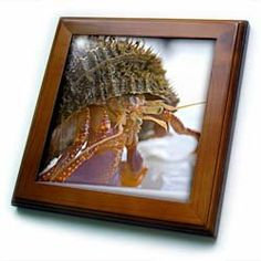 "AK, Inside Passage. Alaskan Hermit Crab crustacean - US02 TDR0157 - Trish Drury - 8x8 Framed Tile by 3dRose. $22.99. Cherry Finish. Solid wood frame. Dimensions: 8"" H x 8"" W x 1/2"" D. Inset high gloss 6"" x 6"" ceramic tile.. Keyhole in the back of frame allows for easy hanging.. AK, Inside Passage. Alaskan Hermit Crab crustacean - US02 TDR0157 - Trish Drury Framed Tile is 8"" x 8"" with a 6"" x 6"" high gloss inset ceramic tile, surrounded by a solid wood frame wit..."