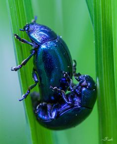 Chrysolina coerulans Julien, My Books, Photos, Animals, World, Projects, Animales, Animaux, Animal Memes