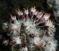 Kahler Alpendost Samen weiss Adenostyles alpina
