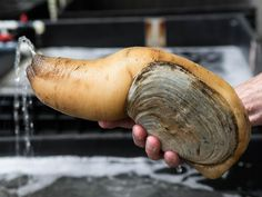 Everything you should probably know about this big ol' guy right here http://www.seriouseats.com/2015/05/what-is-a-geoduck-clam-seattle-pacific-northwest-how-geoduck-are-farmed.html…