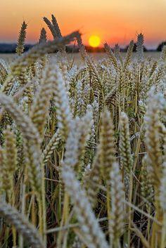 Wheat Field Sunset, England - photo via constance
