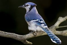 The blue jay is a familiar bird, but there is a lot even experienced birders do not know about them. Learn more with this informative fact sheet! Bird Facts, Blue Jay Bird, Common Birds, Northern Cardinal, Bird House Kits, Crazy Bird, Cardinal Birds, Kinds Of Birds, Backyard Birds
