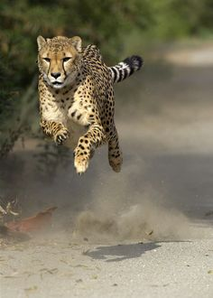 Cheetah in motion.  great moment in his running