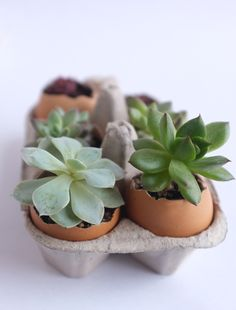 DIY: succulent egg garden