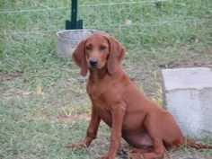 I love redbone coonhounds...so cute!