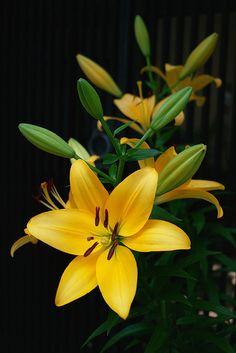 Yellow lily http://flowersgifts.labellabaskets.com faragmoghaddassi@yahoo.com