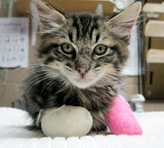 Burned #kitten with double casts recovering at Helen Woodward Animal Center! We have received over 100+ well wishes for Phoenix's recovery and words of encouragement for our hard-working medical team.
