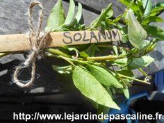 LE JARDIN DE PASCALINE : bouture de bois sec....qui n'est pas sec ! Le SOLANUM