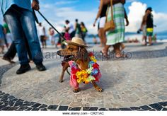 A Dachshund dog, wearing a fancy costume, participates in the pet carnival show at Copacabana beach in Rio de Janeiro, Brazil. - Stock Photo
