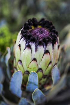 Proteas seem tricky to grow, but with this full guide, you can conquer it! The secret to growing proteas is to mimic their natural growing conditions. Protea Plant, Protea Flower, Australian Flowers, Australian Plants, Exotic Plants, Tropical Plants, Tropical Flowers, Growing Flowers, Planting Flowers